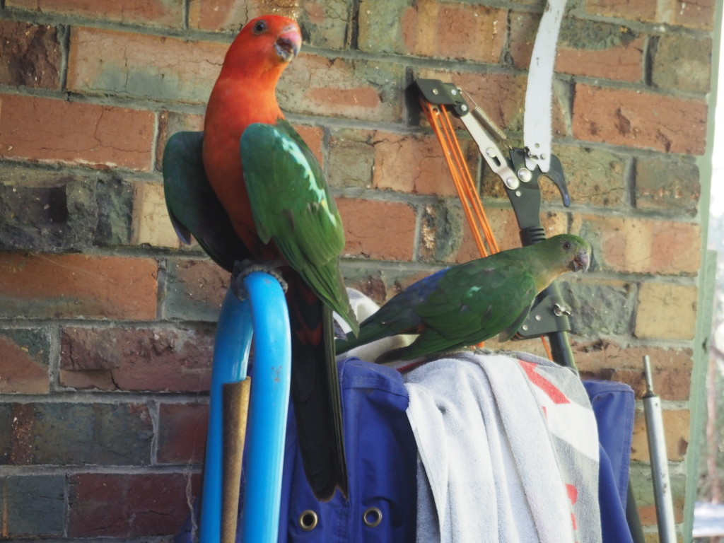 King Parrots In The Yard